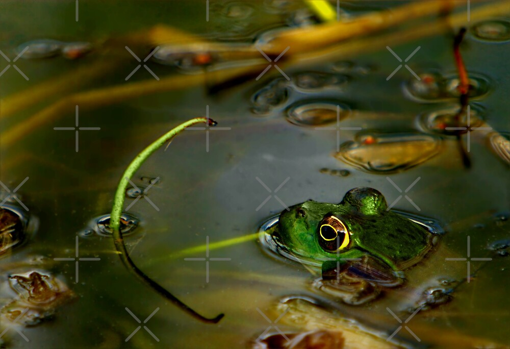 Female Bull Frog by Lisa G. Putman