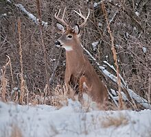 White Tailed Deer by Michael Cummings