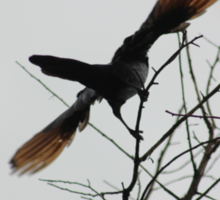 Red-winged Starling Sticker