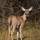 Deer Doe - Ottawa, Ontario by Michael Cummings