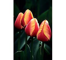 Four Tulips Photographic Print