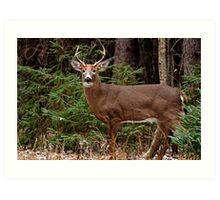 Buck White-tail Deer in the forest- Ottawa, Ontario Art Print