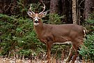 Buck White-tail Deer in the forest- Ottawa, Ontario by Michael Cummings