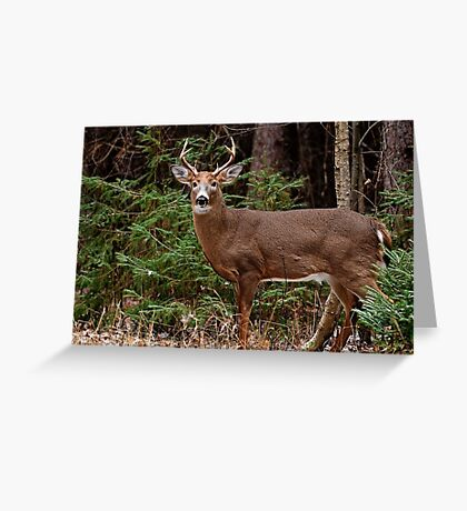 Buck White-tail Deer in the forest- Ottawa, Ontario Greeting Card