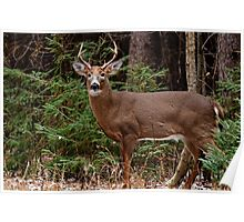 Buck White-tail Deer in the forest- Ottawa, Ontario Poster