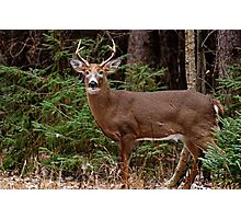 Buck White-tail Deer in the forest- Ottawa, Ontario Photographic Print