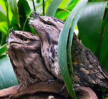 Tawny Frogmouth Owl by bidkev1