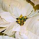Poinsettia - Closeup    ^ by ctheworld