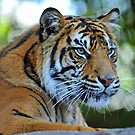 Tiger At The Australia Zoo. Beerwah, Queensland, Australia. by Ralph de Zilva