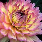D is for Dahlia by peggywright