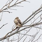 Portrait Of A Red-tailed Hawk by Thomas Young