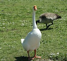 Chinese goose  by Keeton Gale