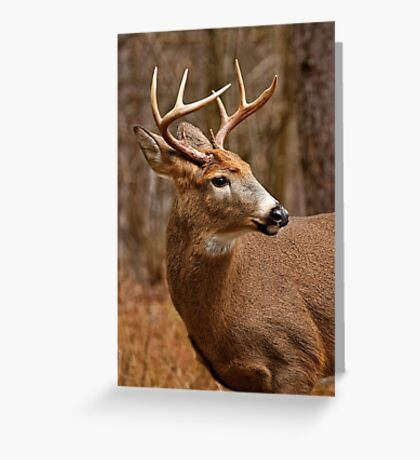 Deer Buck - Ottawa, Ontario Greeting Card