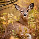 White Tail Deer Relaxing by Michael Cummings