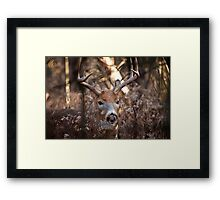 White Tailed Deer Buck In Woods Framed Print
