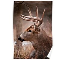 White Tailed Deer Buck Poster