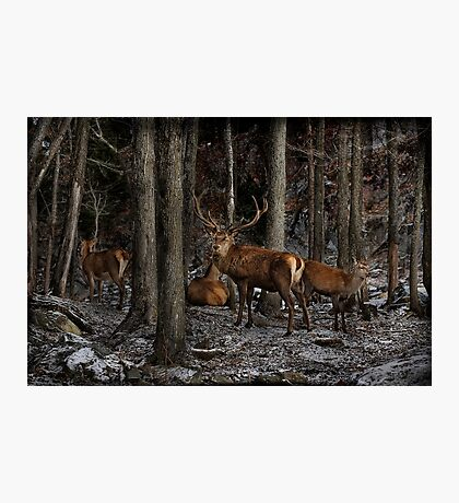 Elk in the Forest Photographic Print