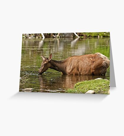 Female Elk in Lake Greeting Card