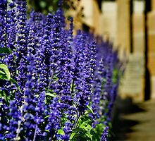 Lavender Wall by Ollieography