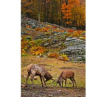 Elk And Red Deer Sparing Photographic Print
