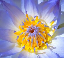 Blue Water Lily - Sydney Royal Botanic Gardens, NSW by Mark Richards
