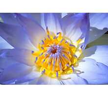 Blue Water Lily - Sydney Royal Botanic Gardens, NSW Photographic Print