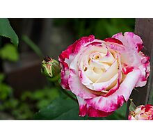 Rose Love Photographic Print