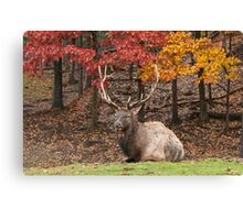 Bull Elk In Autumn Canvas Print