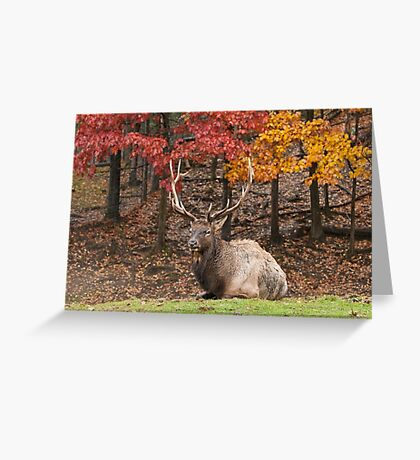Bull Elk In Autumn Greeting Card