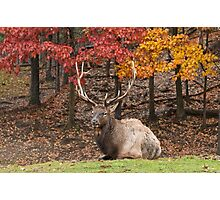 Bull Elk In Autumn Photographic Print