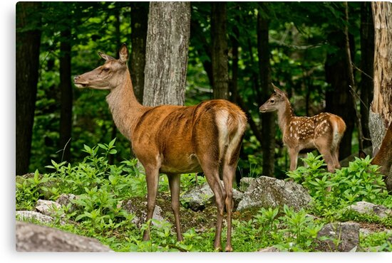 Red Deer And Fawn by Michael Cummings