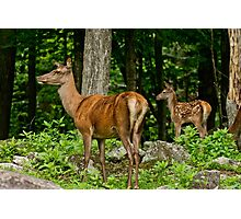 Red Deer And Fawn Photographic Print