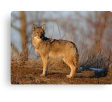 Coyote Hunting - Stoney Creek Ontario, Canada Canvas Print