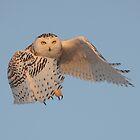 Snowy Owl in Flight by Raymond J Barlow