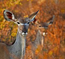 Kudu Duo by Peter Bland