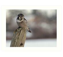 Northern Hawk Owl Hunting Art Print