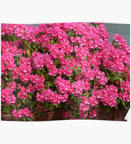 Pink bunches Poster