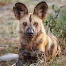 Wild Face of a Dog by Owed to Nature