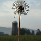 Dandelion by James Wheeler