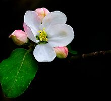 Blossom by Peter Daalder