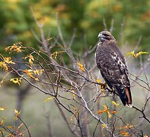 Red-tailed Hawk Hunting by Raymond J Barlow