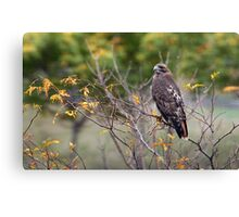 Red-tailed Hawk Hunting Canvas Print