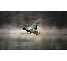 flying duck Photographic Print