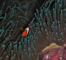 Cape Kian Clownfish by Michael Powell