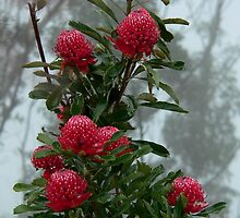 Waratah cluster in the mist (Point Pilcher in the Lords Blue Mountains) by STEPHEN GEORGIOU