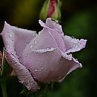 Lilac Rose Growing In the Blue Mountains by Maggiebee