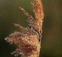 Common Reed Seed Head by Rod Johnson