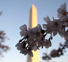 Cherry Blossoms in DC by Brad Staggs