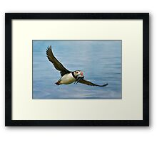 Puffin with catch Framed Print