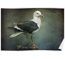 Black Backed Gull Poster